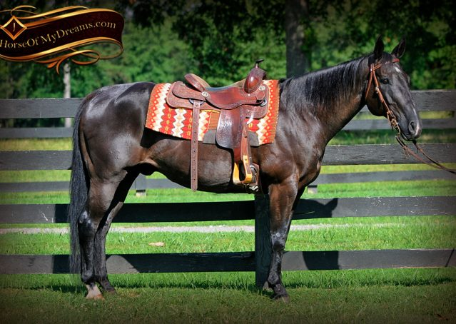 004-Espresso-Black-Quarter-Horse-Gelding-For-Sale