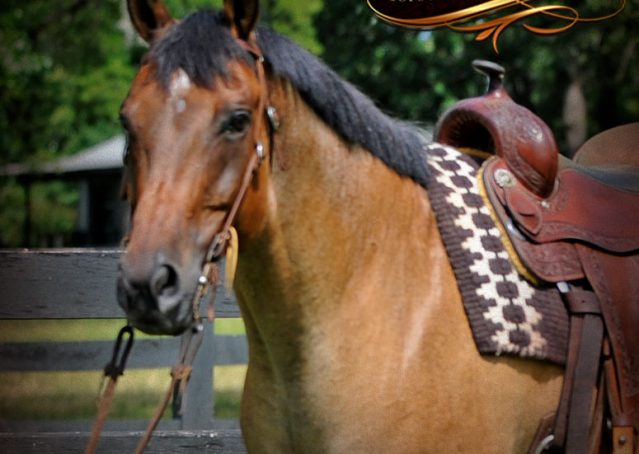 005-Chicago-AQHA-Dun-Roan-Gelding-For-Sale