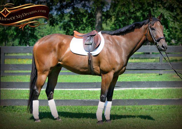 001-Marlin-Bay-thoroughbred-gelding-for-sale