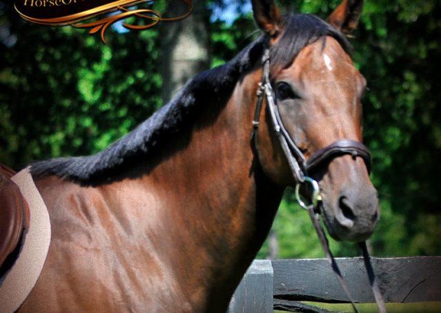 002-Marlin-Bay-thoroughbred-gelding-for-sale