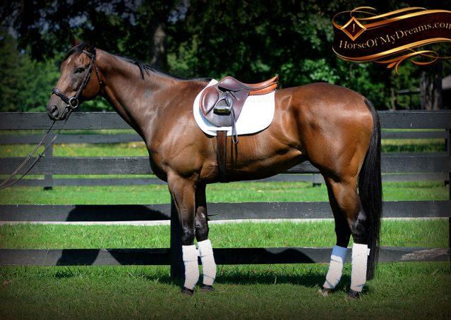 005-Marlin-Bay-thoroughbred-gelding-for-sale