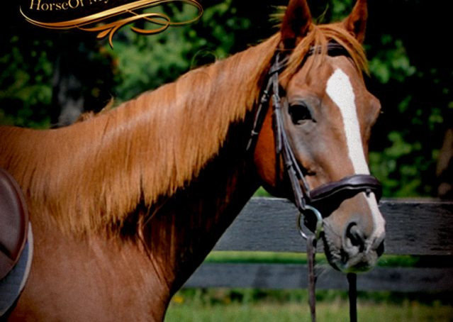001-Jackson-Chestnut-thoroughbred-gelding-for-sale