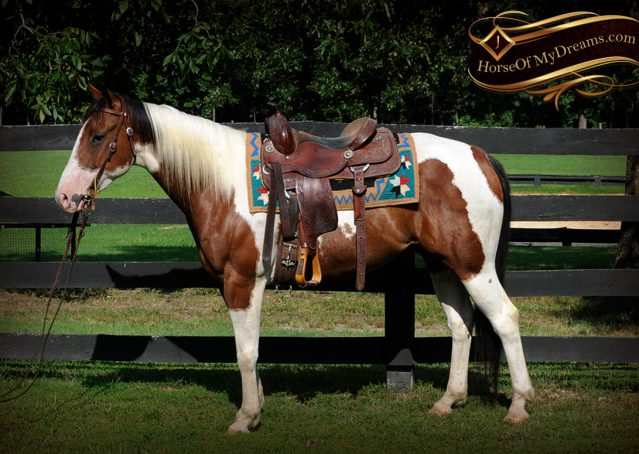 002-Cutter-Bay-White-APHA-Gelding-For-Sale