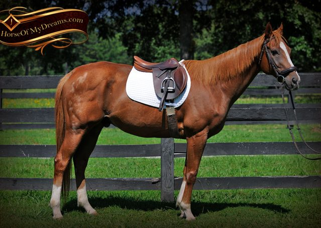 002-Jackson-Chestnut-thoroughbred-gelding-for-sale