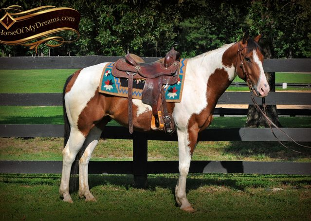 003-Cutter-Bay-White-APHA-Gelding-For-Sale