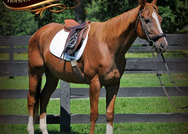 003-Jackson-Chestnut-thoroughbred-gelding-for-sale