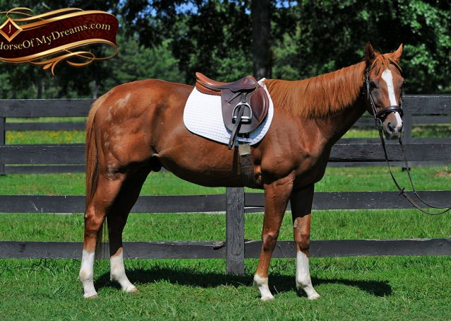 004-Jackson-Chestnut-thoroughbred-gelding-for-sale