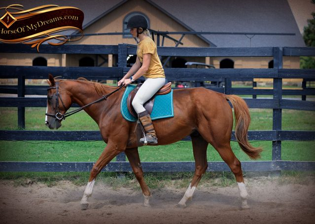 006-Jackson-Chestnut-thoroughbred-gelding-for-sale