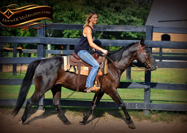 007-Espresso-Black-Quarter-Horse-Gelding-For-Sale