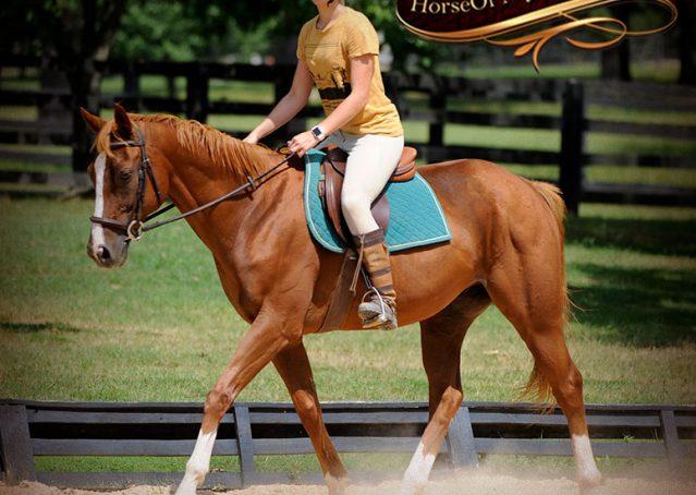 008-Jackson-Chestnut-thoroughbred-gelding-for-sale