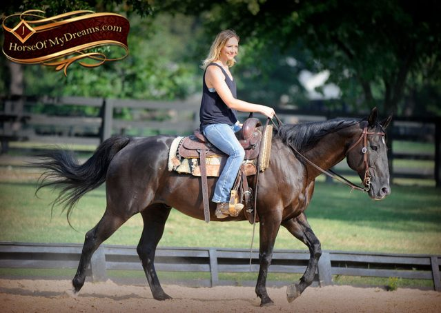 013-Espresso-Black-Quarter-Horse-Gelding-For-Sale