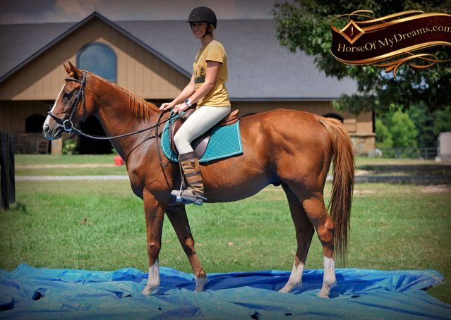 014-Jackson-Chestnut-thoroughbred-gelding-for-sale