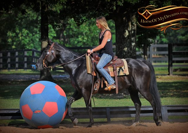 015-Espresso-Black-Quarter-Horse-Gelding-For-Sale