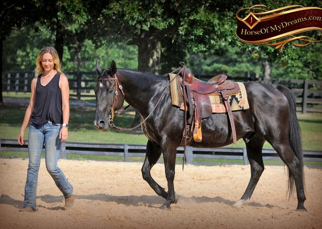 018-Espresso-Black-Quarter-Horse-Gelding-For-Sale