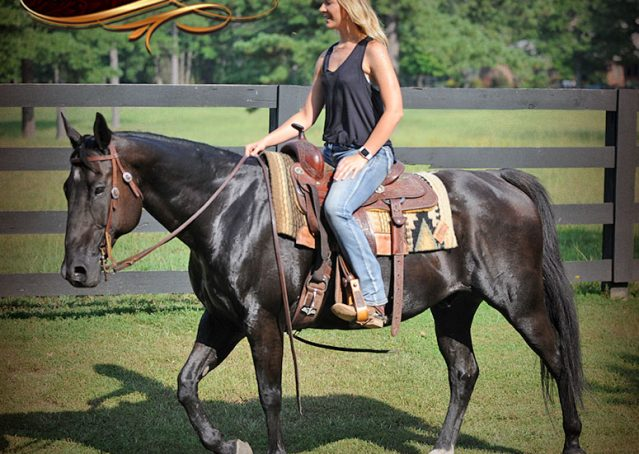 023-Espresso-Black-Quarter-Horse-Gelding-For-Sale