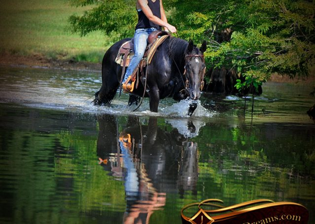 024-Espresso-Black-Quarter-Horse-Gelding-For-Sale