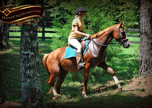 024-Jackson-Chestnut-thoroughbred-gelding-for-sale