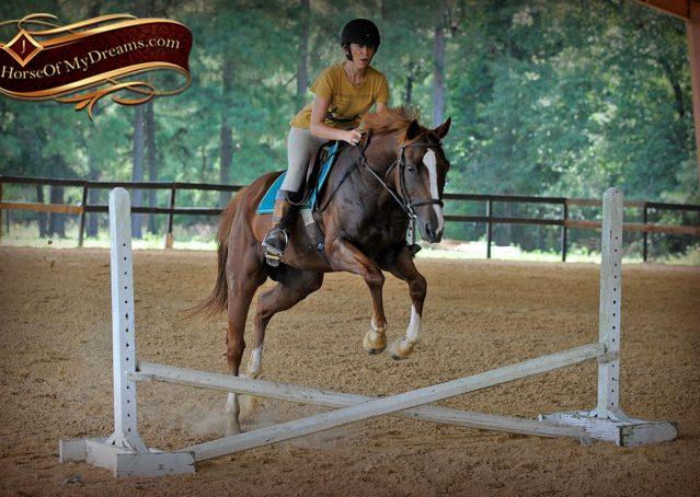 025-Jackson-Chestnut-thoroughbred-gelding-for-sale