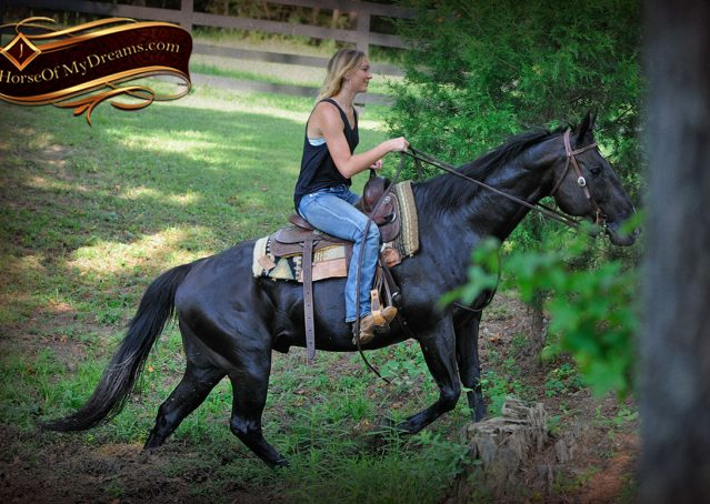 027-Espresso-Black-Quarter-Horse-Gelding-For-Sale