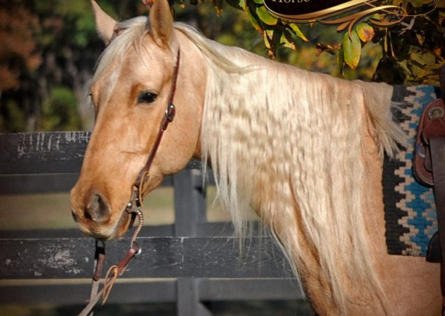 001-Frenchy-Palomino-AQHA-Gelding-For-Sale