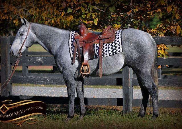 001-Tinker-Grey-AQHA-Quarter-Horse-Gelding-For-Sale