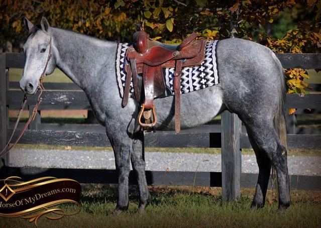 002-Tinker-Grey-AQHA-Quarter-Horse-Gelding-For-Sale