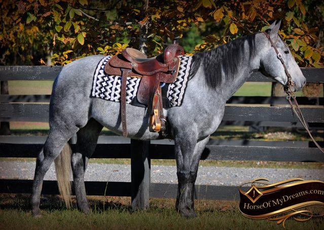 003-Tinker-Grey-AQHA-Quarter-Horse-Gelding-For-Sale