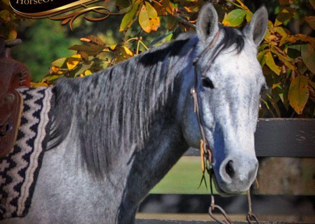 004-Tinker-Grey-AQHA-Quarter-Horse-Gelding-For-Sale