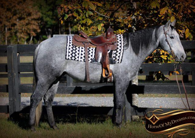 005-Tinker-Grey-AQHA-Quarter-Horse-Gelding-For-Sale