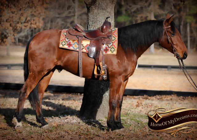 001-Chico-Bay-AQHA-Gelding-For-Sale