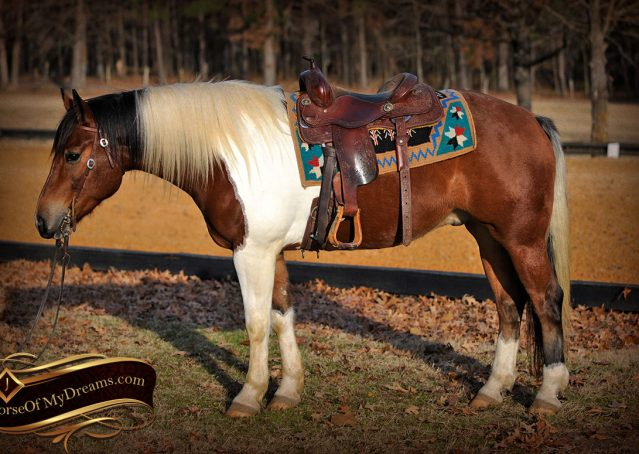 001-Henry-Reno-Paint-Draft-Cross-Gelding-Horse-Beginner-Trail-For-Sale