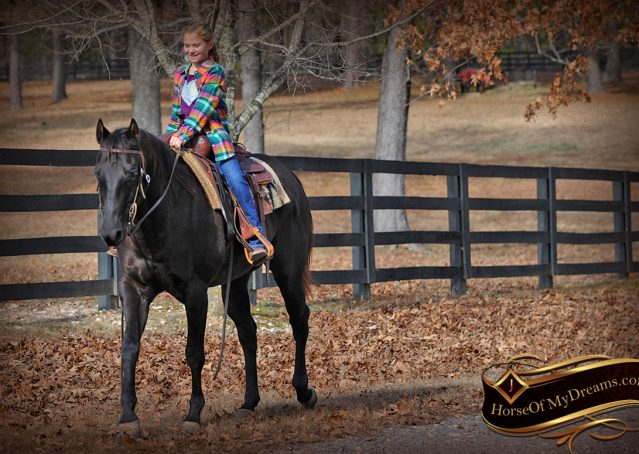 001-Onyx-Black-Quarter-Horse-Gelding-For-Sale
