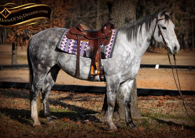 001-Sam-Fancy-Beautiful-Dappled-Gray-Grey-AQHA-Quarter-Horse-Gelding-For-Sale-Trail-Beginner-Family