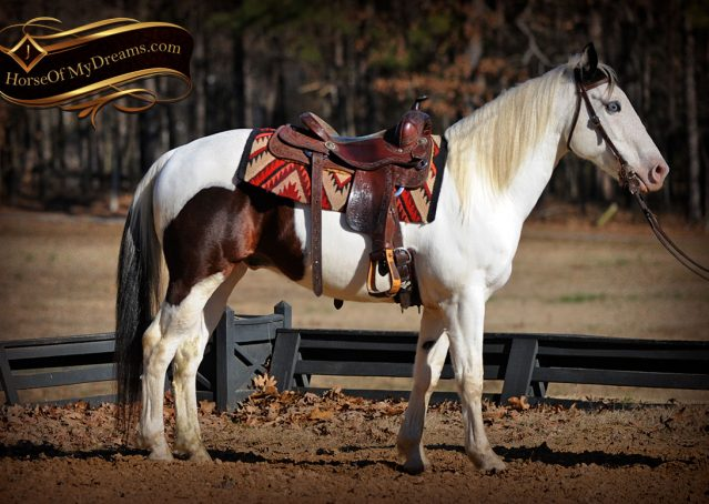 002-Bandit-APHA-Tri-Color-Paint-Gelding-For-Sale