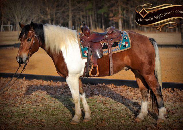 002-Henry-Reno-Paint-Draft-Cross-Gelding-Horse-Beginner-Trail-For-Sale