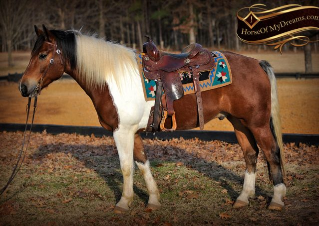 003-Henry-Reno-Paint-Draft-Cross-Gelding-Horse-Beginner-Trail-For-Sale