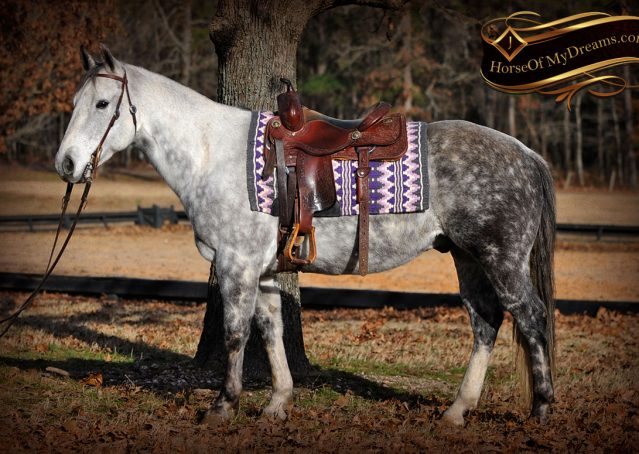 003-Sam-Fancy-Beautiful-Dappled-Gray-Grey-AQHA-Quarter-Horse-Gelding-For-Sale-Trail-Beginner-Family