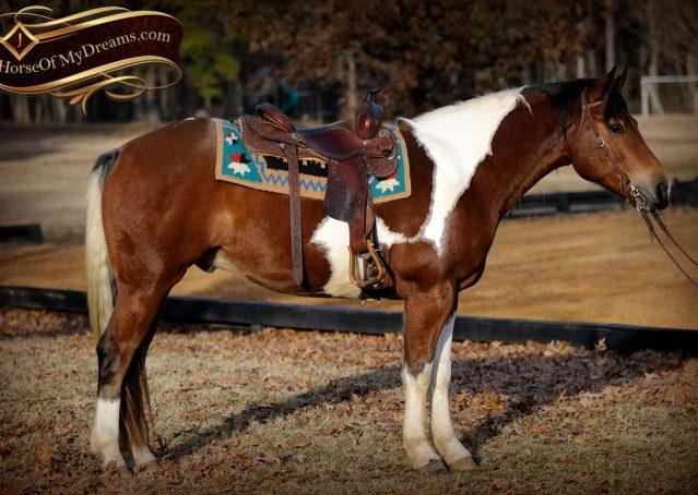 004-Henry-Reno-Paint-Draft-Cross-Gelding-Horse-Beginner-Trail-For-Sale