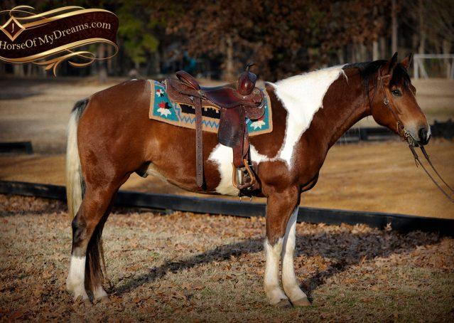 005-Henry-Reno-Paint-Draft-Cross-Gelding-Horse-Beginner-Trail-For-Sale