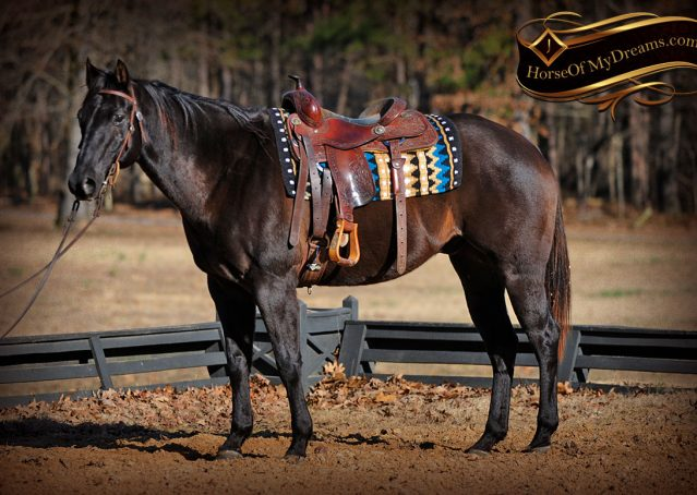 005-Onyx-Black-Quarter-Horse-Gelding-For-Sale