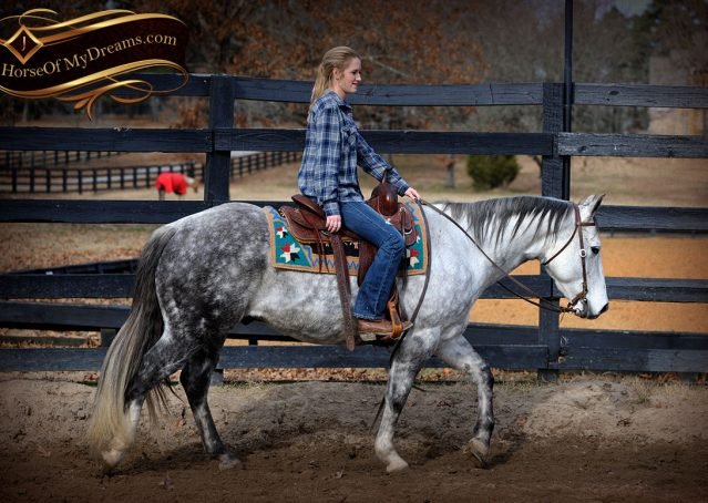 005-Sam-Fancy-Beautiful-Dappled-Gray-Grey-AQHA-Quarter-Horse-Gelding-For-Sale-Trail-Beginner-Family