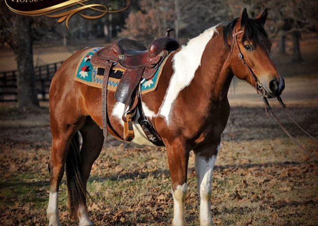 006-Henry-Reno-Paint-Draft-Cross-Gelding-Horse-Beginner-Trail-For-Sale