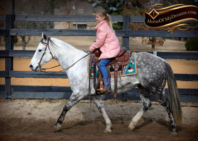 006-Sam-Fancy-Beautiful-Dappled-Gray-Grey-AQHA-Quarter-Horse-Gelding-For-Sale-Trail-Beginner-Family