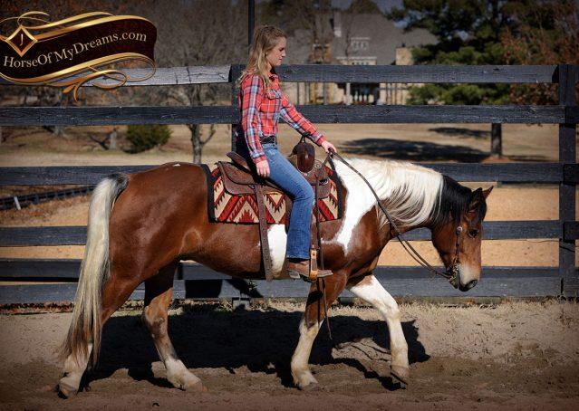 008-Henry-Reno-Paint-Draft-Cross-Gelding-Horse-Beginner-Trail-For-Sale