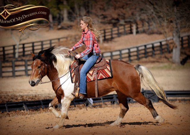 012-Henry-Reno-Paint-Draft-Cross-Gelding-Horse-Beginner-Trail-For-Sale