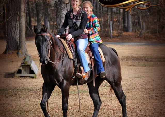 013-Onyx-Black-Quarter-Horse-Gelding-For-Sale