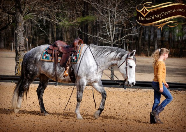 013-Sam-Fancy-Beautiful-Dappled-Gray-Grey-AQHA-Quarter-Horse-Gelding-For-Sale-Trail-Beginner-Family
