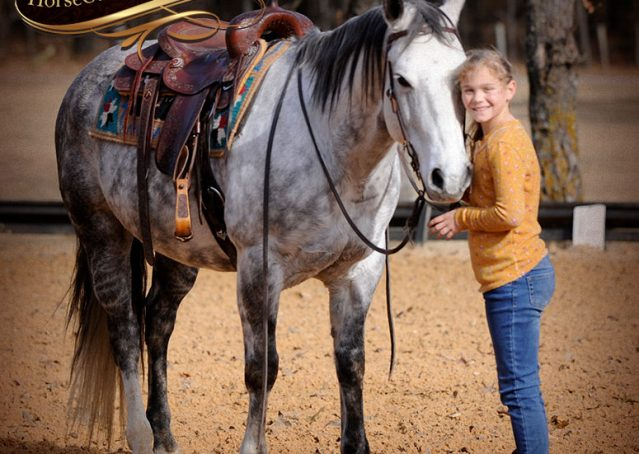 014-Sam-Fancy-Beautiful-Dappled-Gray-Grey-AQHA-Quarter-Horse-Gelding-For-Sale-Trail-Beginner-Family