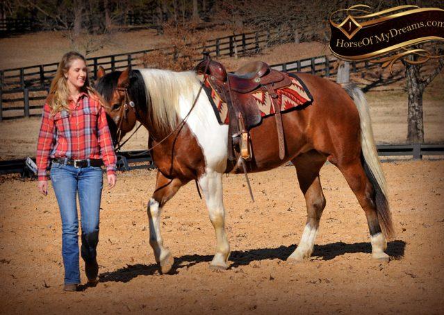 015-Henry-Reno-Paint-Draft-Cross-Gelding-Horse-Beginner-Trail-For-Sale