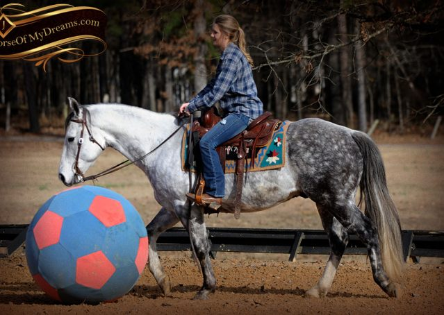 015-Sam-Fancy-Beautiful-Dappled-Gray-Grey-AQHA-Quarter-Horse-Gelding-For-Sale-Trail-Beginner-Family